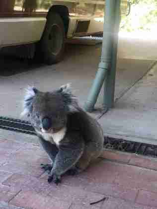 Koala crashes real estate open house