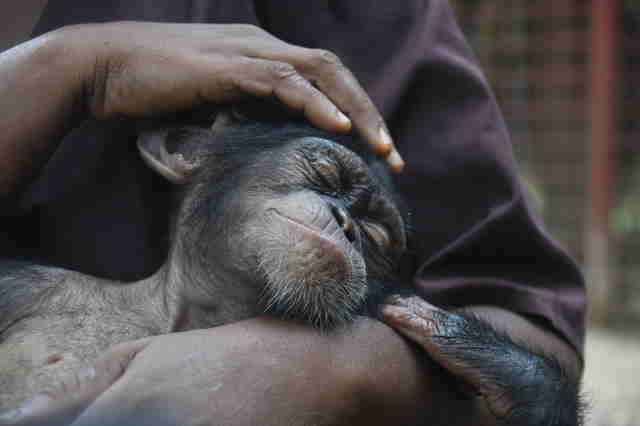 Baby chimp rescued in Liberia