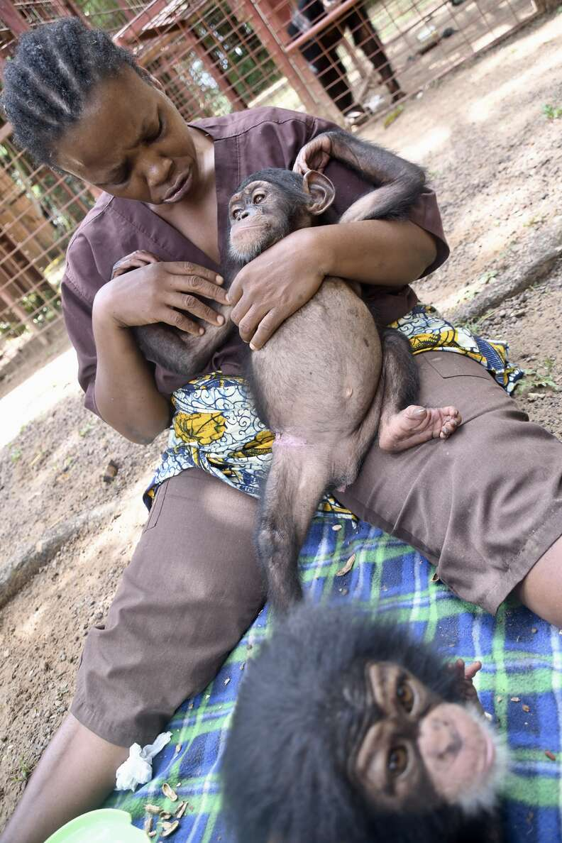 Rescued baby chimp at Liberia rescue center