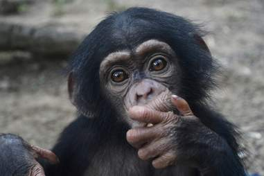 Baby chimp saved in Liberia