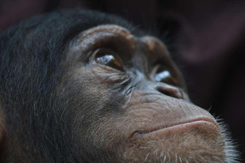 Rescued baby chimpanzee in Liberia