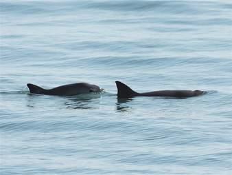 Endangered vaquita porpoises swimming in ocean