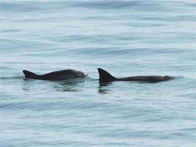 Endangered vaquita porpoises swimming in ocean