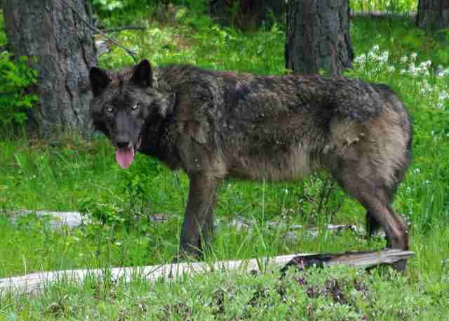Oregon gray wolf killed
