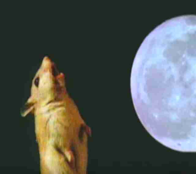 Grasshopper mouse howling