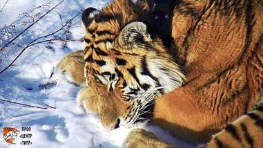 tiger russia rescue
