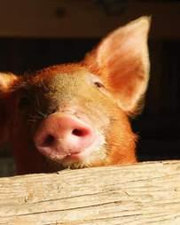 Portrait of baby piglet