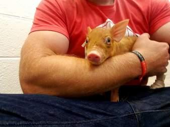 Man holding tiny rescue piglet
