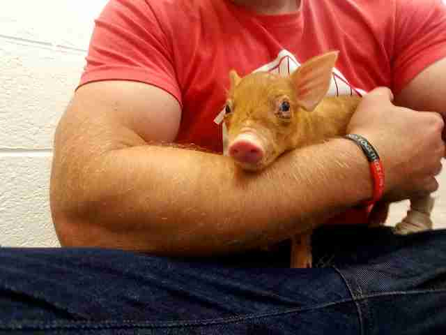 Man holding tiny rescue piglet