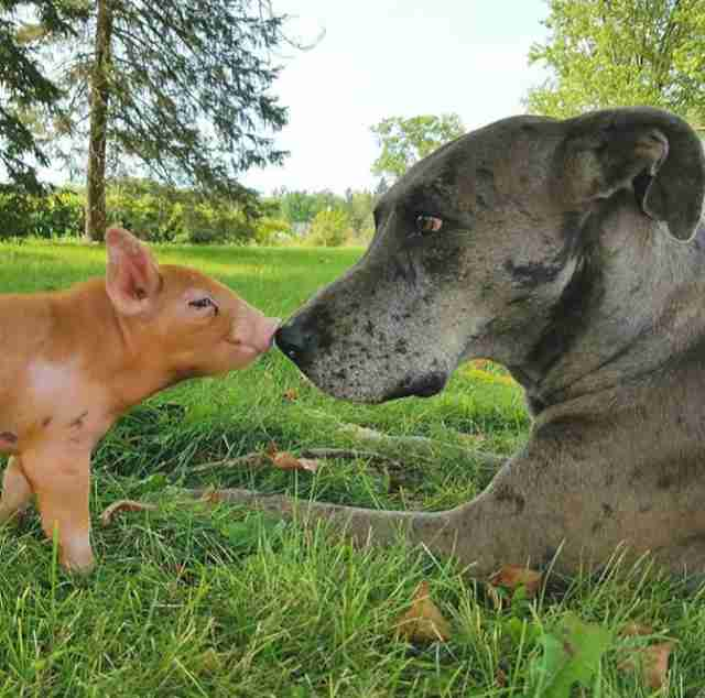 Piglet and dog sniffing noses