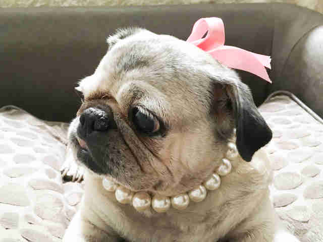 Rescue pug wearing pearls