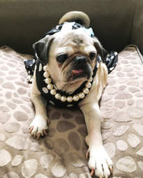 Rescue pug wearing pretty dress and pearls