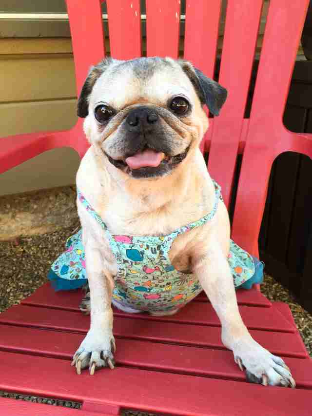 Rescue pug wearing pretty dress