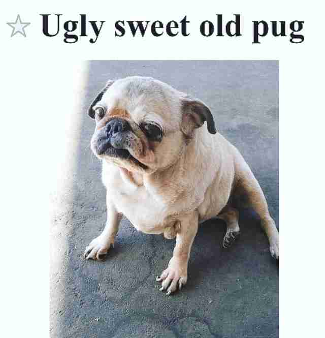 Online post selling senior pug