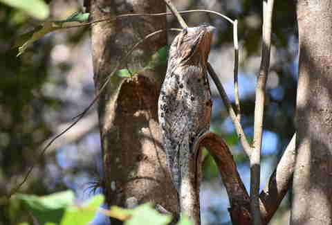 great potoo bird on tree branch