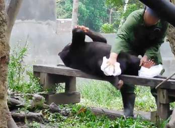A keeper wiping down an adult sun bear