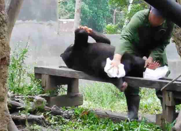A keeper wiping down an adult sun bear