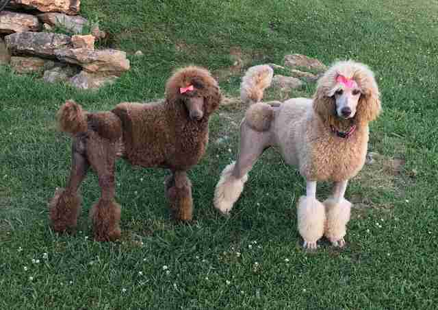 poodles dogs smart