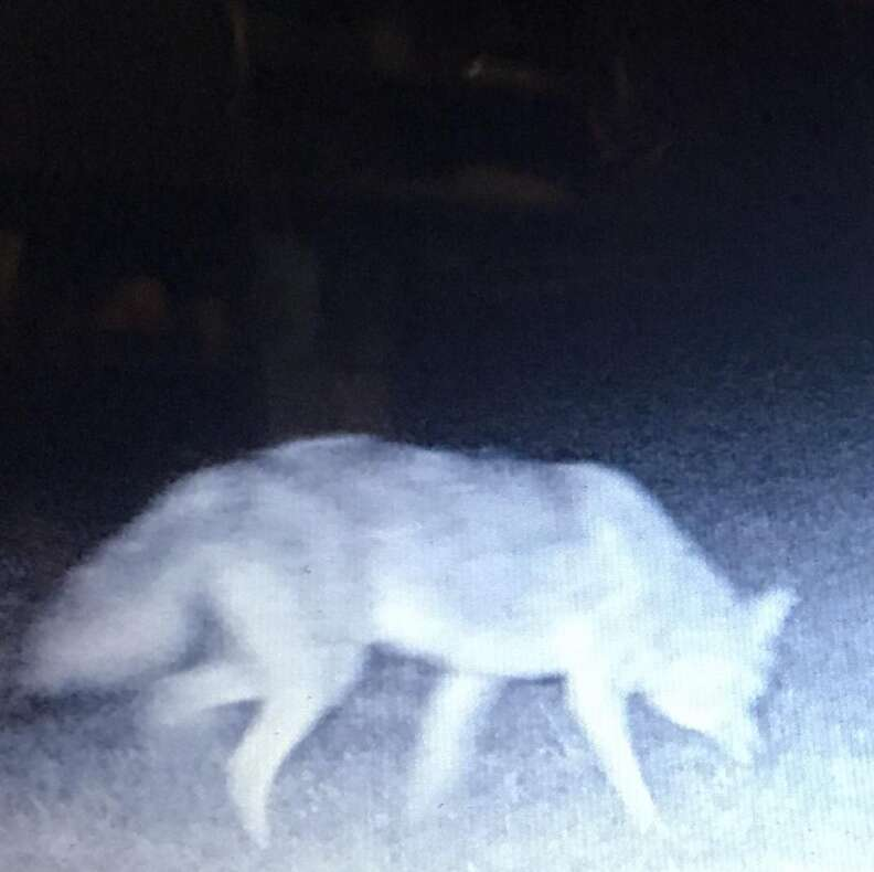 Coyote pack that took in stray dog Wiley