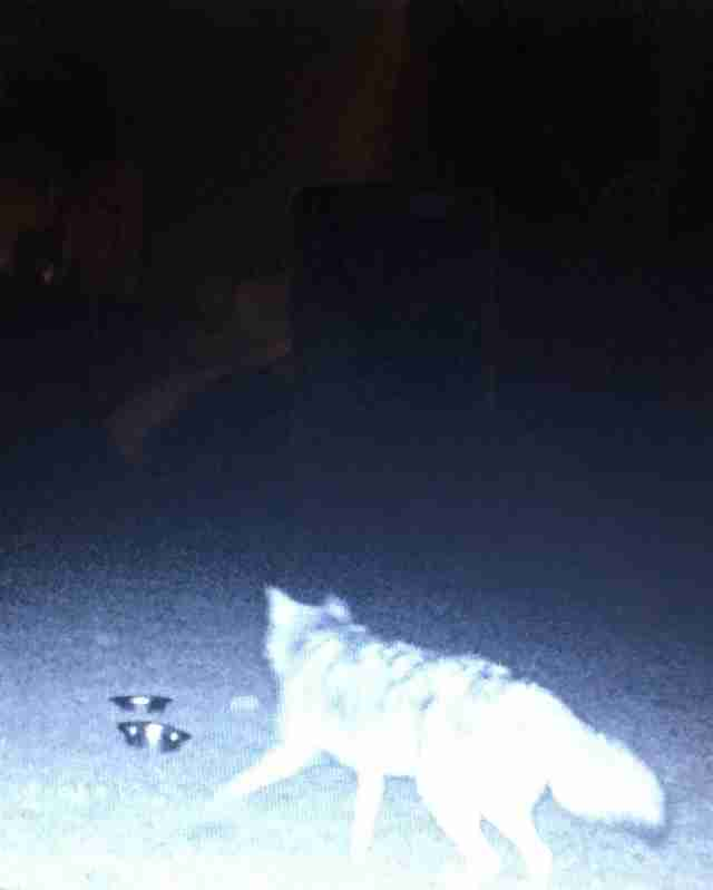 Coyote who befriended stray dog