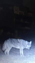 Coyote from pack that integrated with stray dog