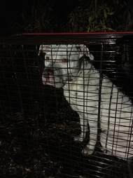 Dog who ran with coyotes in rescuer's trap