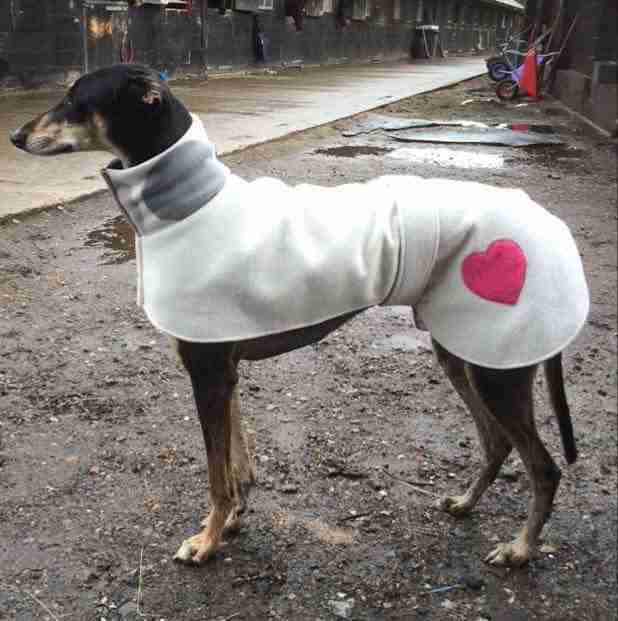 Greyhound in special coat