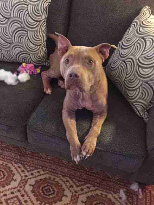 Rescued pit bull dog lying on couch