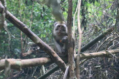 Pet monkey released in Indonesia