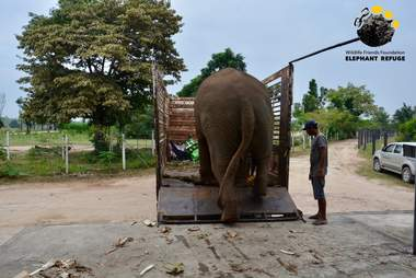 Elephant rescued from giving tourists rides in Thailand