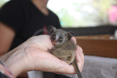 A volunteer holding bushbaby in their hand