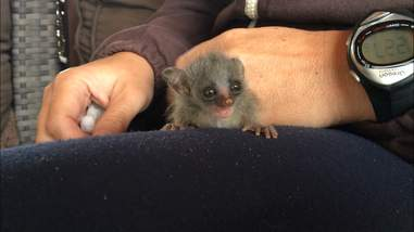 Rescued bushbaby sitting on someone's lap