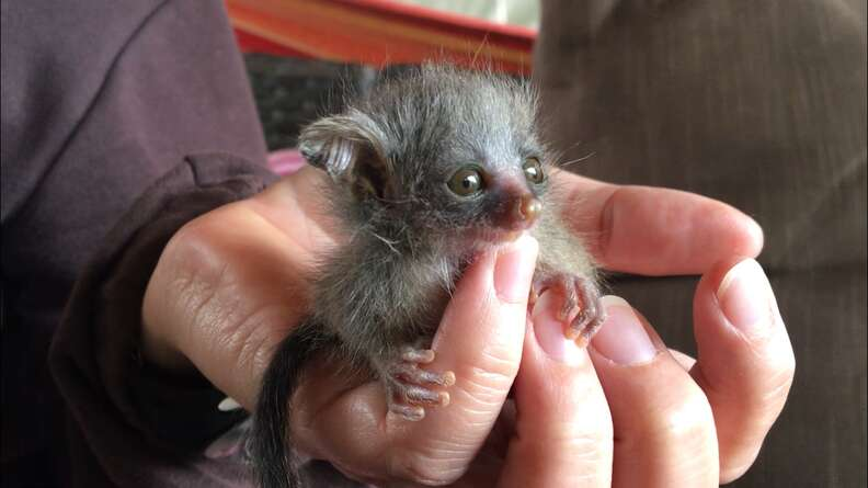 Person holding orphaned baby bushbaby in their hand