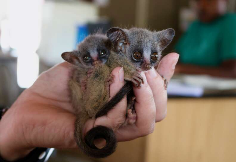 Bushbabies snuggling together