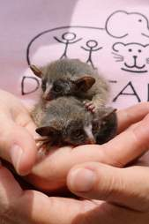 Two bushbabies snuggling together