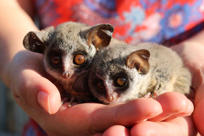 Two bushbaby animals snuggled up together