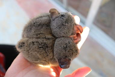 Two young bushbabies snuggling against each other