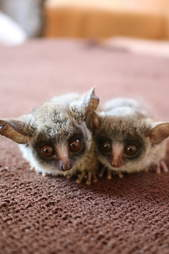 Two young bushbabies snuggled up each other
