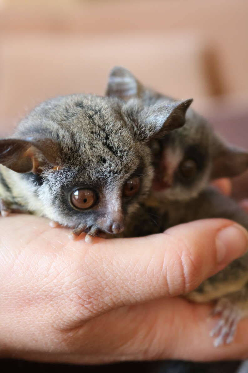Two young bushbabies snuggling together