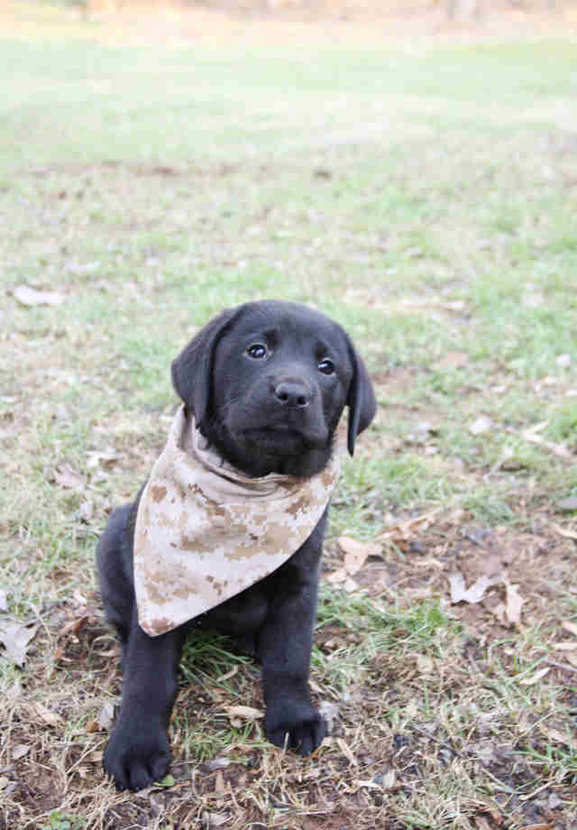 Lizzy the puppy in a bandana