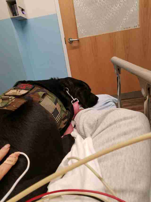 Lizzy the labrador service dog on a hospital bed