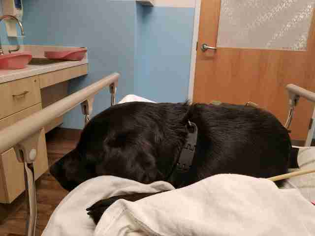 Lizzy the service dog snuggling on a hospital bed