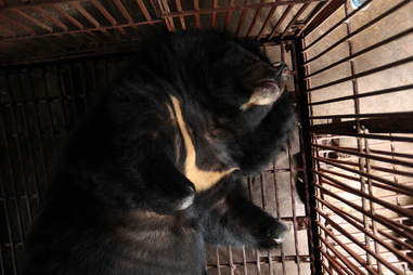 bear bile rescue vietnam