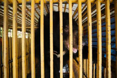 bear rescue vietnam