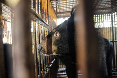 rescue bear vietnam