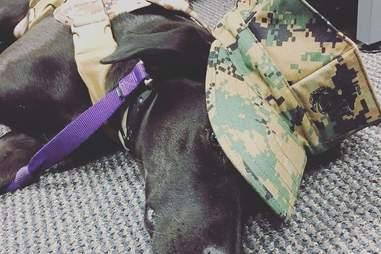 black labrador veteran assistance dog