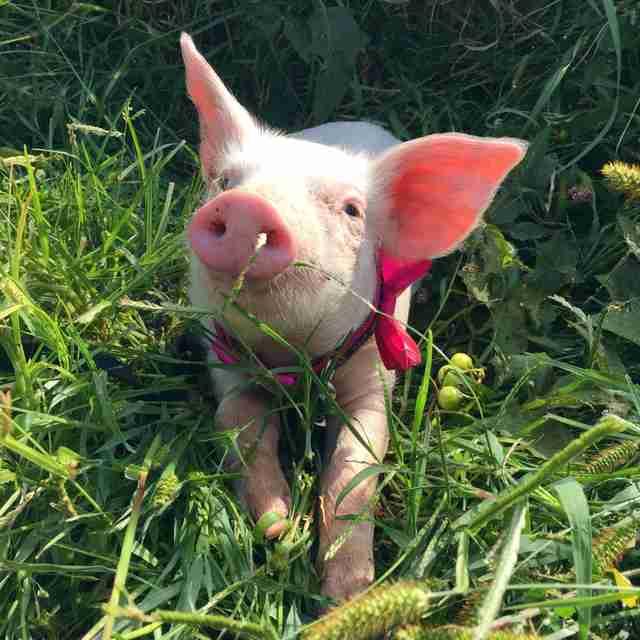 pig rescue iowa