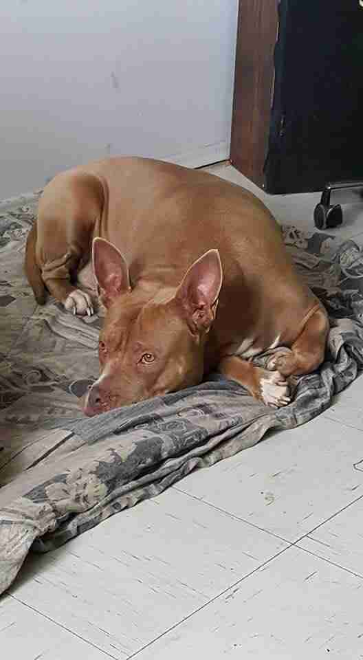 Pit bull sleeping on dog bed