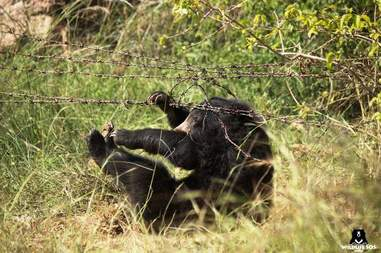 Sloth bear trapped in poacher's trap