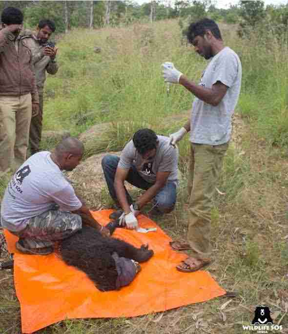 People helping baby sloth bear on blanket